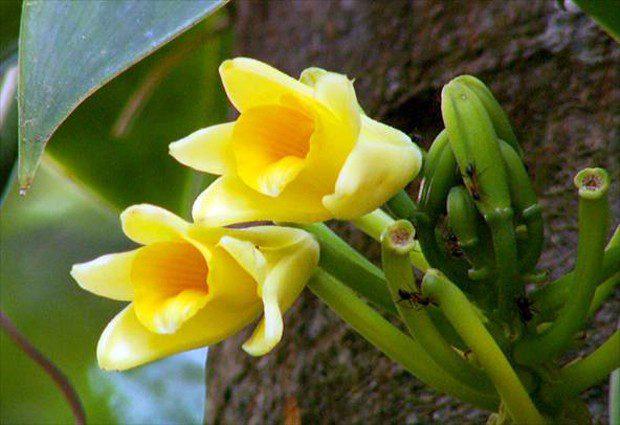 Orquídea Baunilha