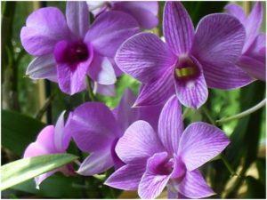 orquídea olho de boneca