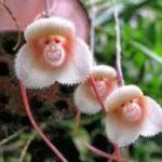 Orquídea cara de macaco