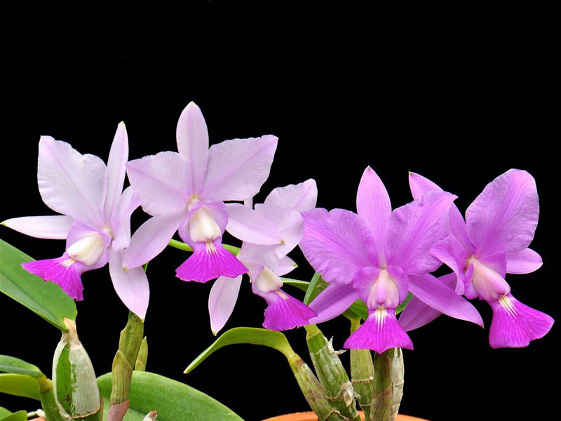 Cattleya Walkeriana