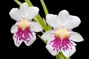 Orquídeas Colômbianas