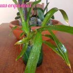Resultado orquídea plantada no tronquinho