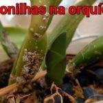 Cochonilhas em Orquídeas | Como Tratar