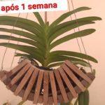 Replante Orquidea Vanda após 1 semana
