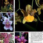 OrquídeaCyrtochilum orgyale