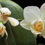 Louva-a-Deus Orquídea
