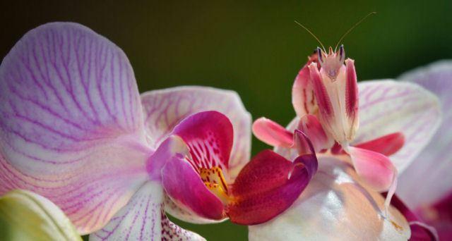 louva deus orquídea