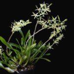 Orquídea Miltonia