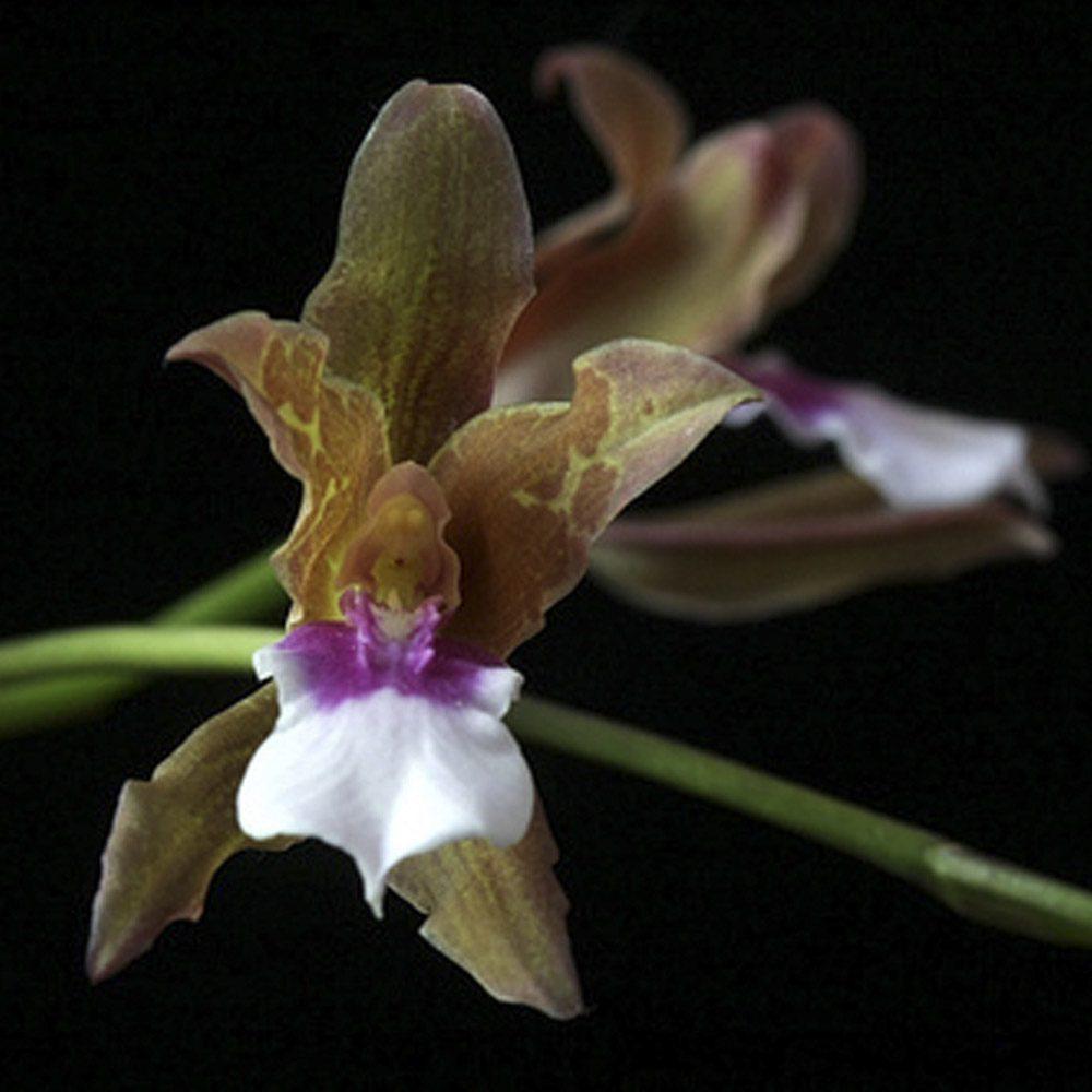Miltonia Russeliana