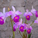 Orquídea Arundina