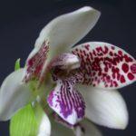 Orquídea Brasileira