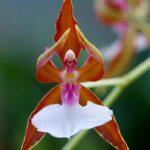 Orquídea Bailarina