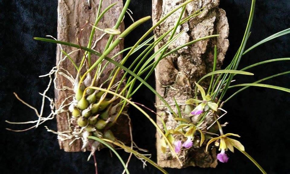 Orquídea Encyclia