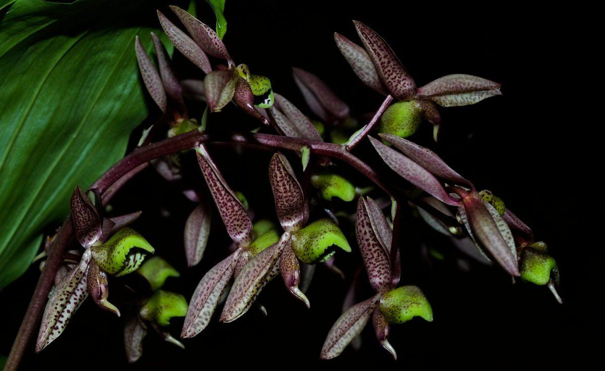 orquidea catasetum