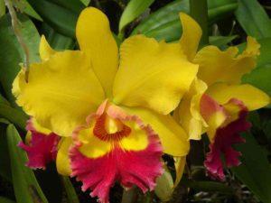 Orquídea Cattleya Amarela