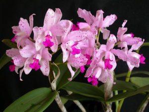 Orquídea Cattleya Amethystoglossa