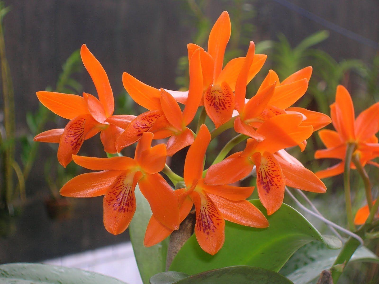 Orquídea Cattleya Aurantiaca