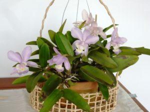 Orquídea Cattleya Dolosa
