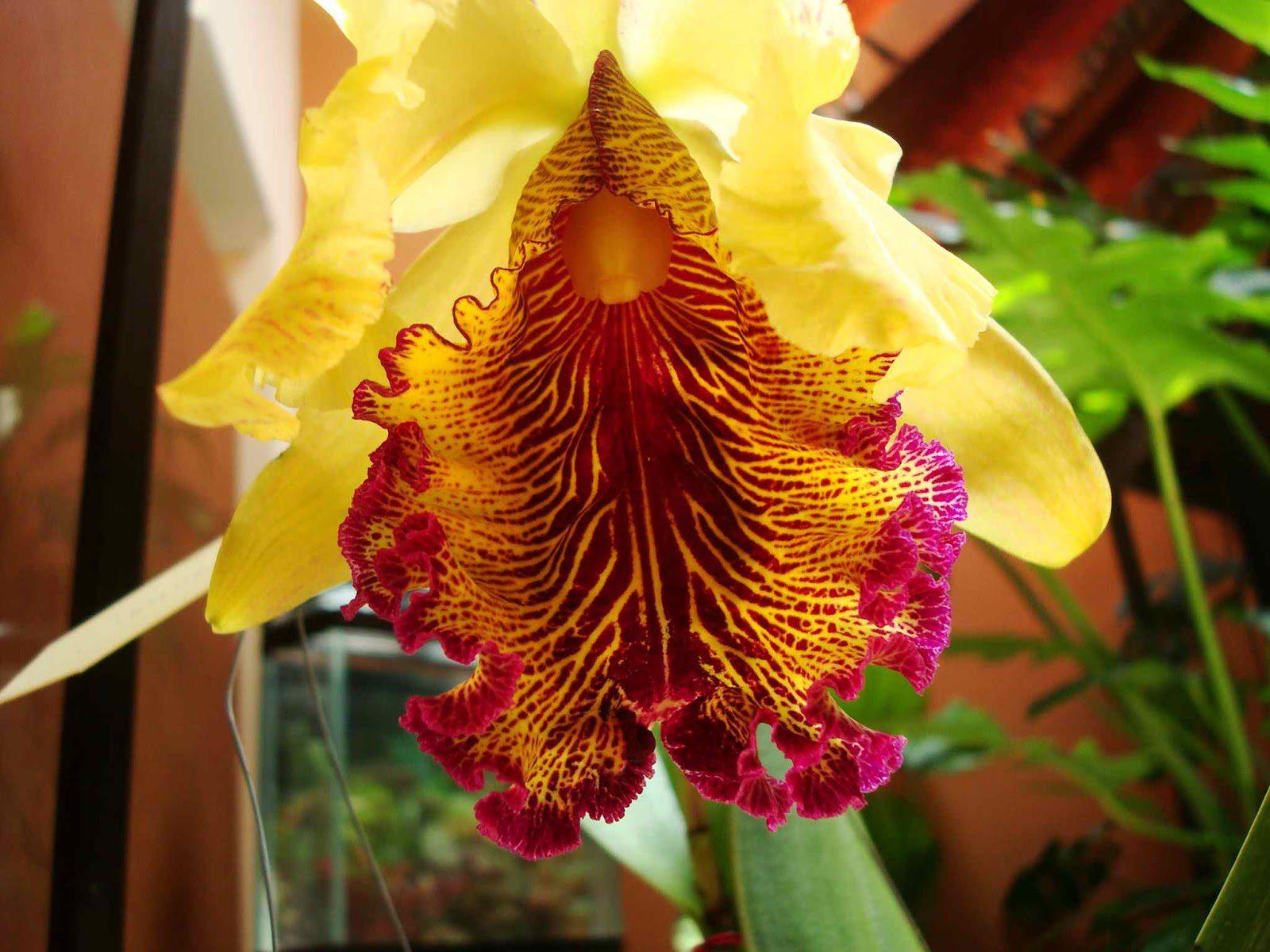 Orquídea Cattleya Dowiana