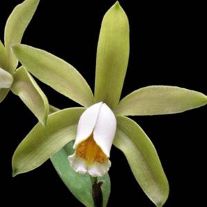 Orquídea Cattleya Forbesii