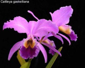 Orquídea Cattleya Gaskelliana