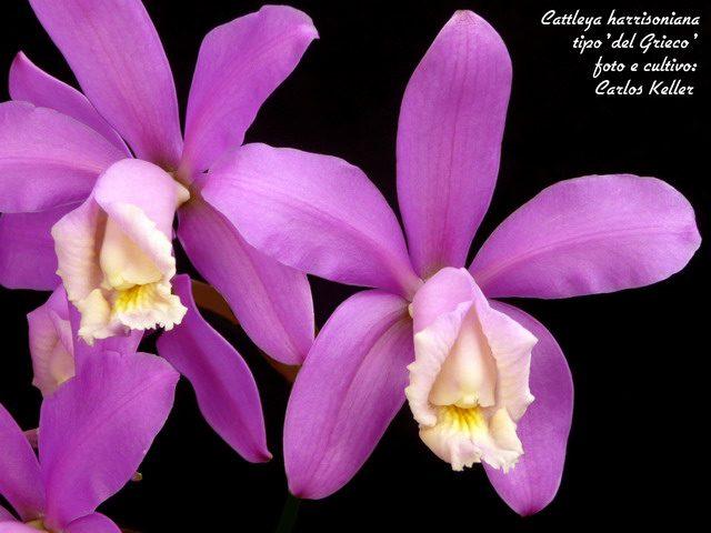 Orquídea Cattleya Harrisoniana