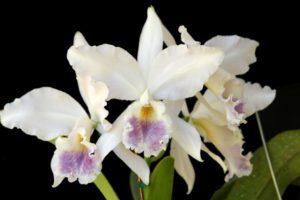 Orquídea Cattleya Labiata Coerulea
