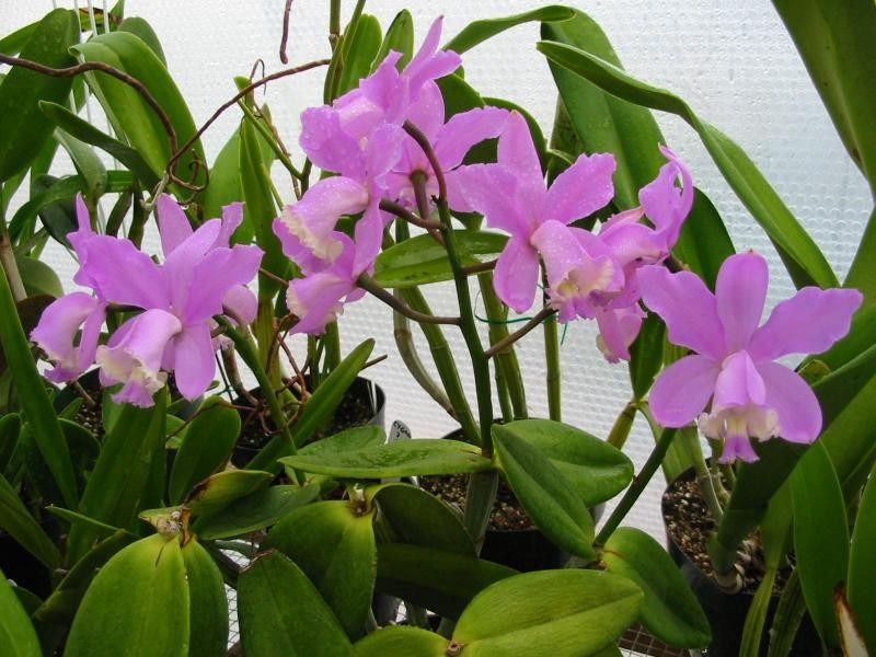 Orquídea Cattleya Loddigesii
