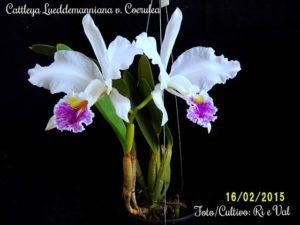 Orquídea Cattleya Lueddemanniana