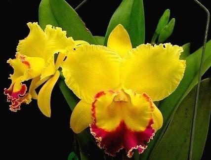 Orquídea Cattleya Conheça Todos Os Tipos Desta Orquídea