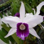 Orquídea Phragmipedium Besseae