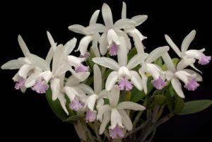 Orquídea Cattleya Schofieldiana