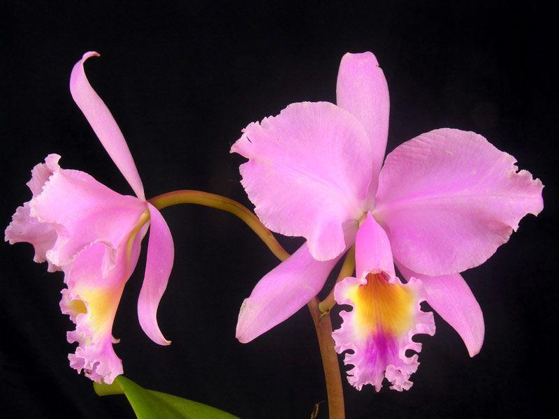 Orquídea Cattleya Trianae