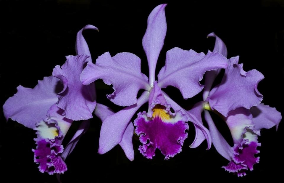 Orquídea Cattleya Warneri